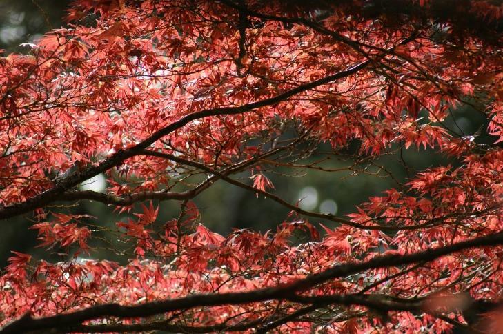 maple-tree-367439_1280